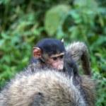 ������, ������: Young savanna baboon olive race Papio cynocephalus