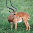 Male impala (Aepyceros melampus) - Stock Photo