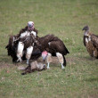 Stock Photo: Lapped-faced Vultures (Torgus tracheliotus) and White-backed Vultures (Gyps