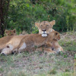African lioness and cubs (Panthera leo) - ストック写真