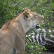 Stock Photo: Africlioness (Pantherleo) has killed zebr(Equus burchellii)