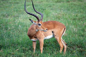 Male impala (Aepyceros melampus) — Stock Photo