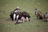 Lapped-faced Vultures (Torgus tracheliotus) and White-backed Vultures (Gyps — Stock Photo