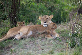 African lioness and cubs (Panthera leo) — Stock Photo