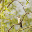 Hummingbird Perched in Willow — ストック写真