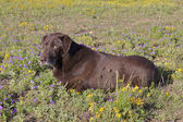 Chocolate Lab in Wildflowers — Stock Photo
