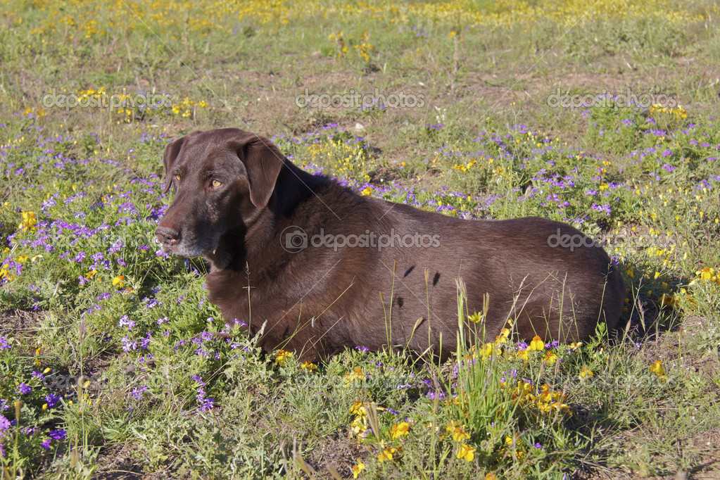A senior chocolate lab takes a break in a field of wildflowers  Stock Photo #6953718