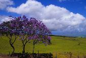 Jacaranda Trees — Stock Photo