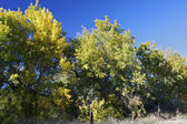 Cottonwoods in Early Fall — Stock Photo