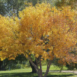 Tree in Fall — Stock Photo