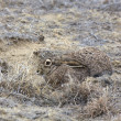 Jackrabbit Hiding in Grass — Stock Photo #7911908