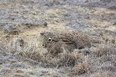 Jackrabbit skrývá v trávě — Stock fotografie