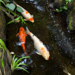 Colorful Koi — Foto de Stock