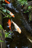 Colorful Koi — Stock Photo