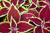 Red coleus — Stock Photo
