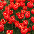 Blossom Red Tulip — Stock Photo