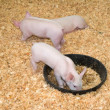 Piggies — Stock Photo