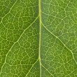 leaf vein — Stock Photo