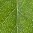 Leaf Vein — Stock Photo #7455022