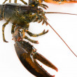 Lobster — Stock Photo #7467230