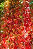 Autumn Ivy — Stock Photo