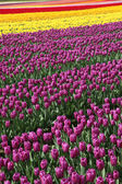 Blossom Tulip — Stockfoto