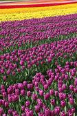 Tulipán květ — Stock fotografie