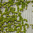 Ivy and Concrete Wall — Stock Photo