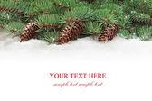 еловые ветки дерева с конусами. — Стоковое фото