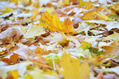 Beautiful yellow leaves — Stockfoto