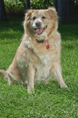 Golden Retriever 9031 — Stock Photo