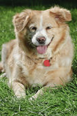 Golden Retriever 9037 — Stock Photo