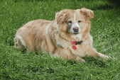 Golden Retriever 9039 — Stock Photo