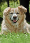 Golden Retriever 9062 — Stock Photo