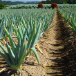 Green onion field - Stock Photo