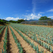Green onion field - Stockfoto