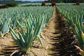 Green onion field — Stock Photo