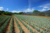Green onion field — Foto de Stock