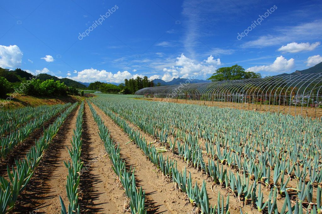 Green onion field and blue sky in japan — Stock fotografie #6821764