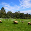 Stock Photo: Sheep and blue sky of plateau