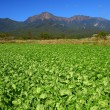 Stock Photo: Vegetable field and mountain