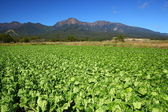 Vegetable field and mountain — Stock Photo