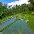 Rice field terrace — Stock Photo