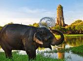 Elephant bathing in Ayutthaya — Stock Photo