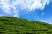 Zelené kopce na čajové plantáže — Stock fotografie