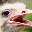 Portrait of ostrich — Stock Photo #7123712