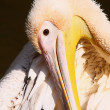 Pelican — Stock Photo #7123717