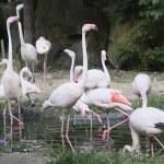 Flamingos — Stock Photo #7124230