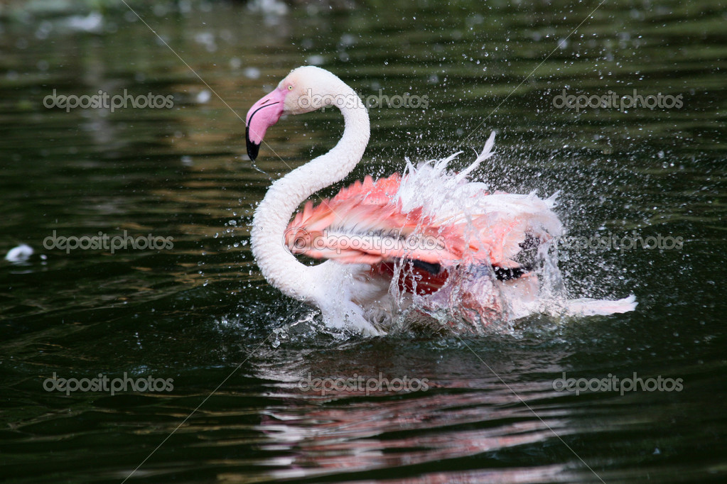 Flamingo — Stock Photo #7124111