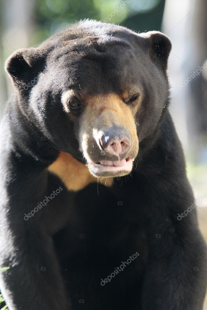 Portrait od a bear  Stock Photo #7124115
